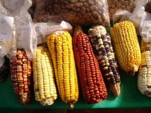 milho crioulo_ASPTA
